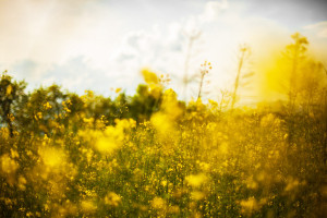 field-flowers-meadow-1545