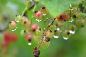 berry-red-water-drop-nature-wet-macro-rain-food-2 copy