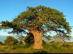 baobabu400